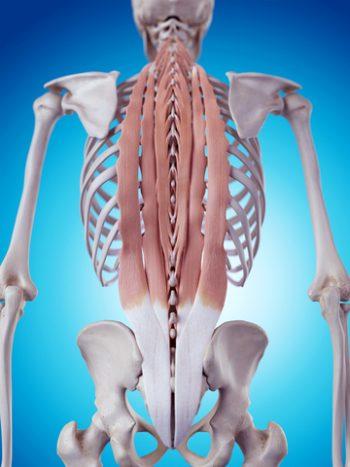 muscle-lowerback